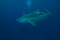 Shark Diving with Tiger Sharks