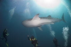Shark Diving with Manta Rays